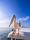Namibia, Erongo Province, Walvis Bay, white pelican sitting on top of a boat - AMF004601