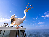 Namibia, Erongo Province, white pelican standing on top of a boat catching a fish - AMF004604
