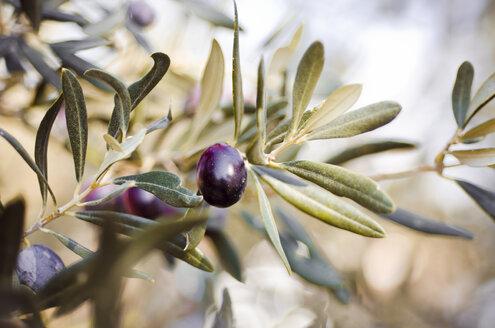 Turkey, Foca, twig of olive tree with ripe fruits - CZF000239