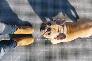 Portrait of French bulldog looking up to owner - GEMF000599
