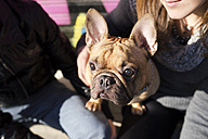 Portrait of French bulldog looking up - GEMF000602