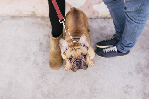 Portrait of French bulldog standing between owners and looking up to camera - GEMF000608