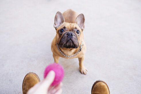Portrait of French bulldog looking up - GEMF000614