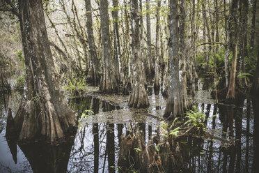 USA, Florida, Fort Myers, Six Mile Cypress Slough Preserve - CHPF000169