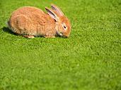 Rabbit on a meadow - KRPF001691