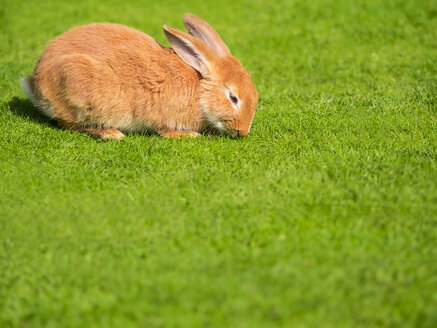 Rabbit on a meadow - KRPF001691