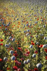 Austria, Lower Austria, field of poppies, poppy seed capsules, unripe - AIF000189