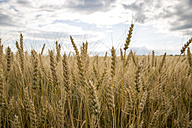Spikes of a wheat field - AIF000190