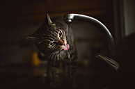 Portrait of tabby cat drinking water from tap of the kitchen - RAEF000772