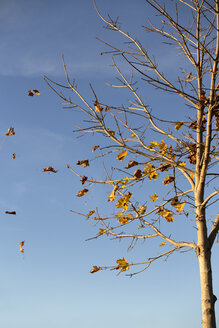 Tree loosing leaves on a windy autumn day - MIDF000714