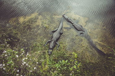 USA, Florida, Everglades, Alligators - CHPF000197