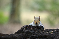 Portrait of grey squirrel - MJOF001134