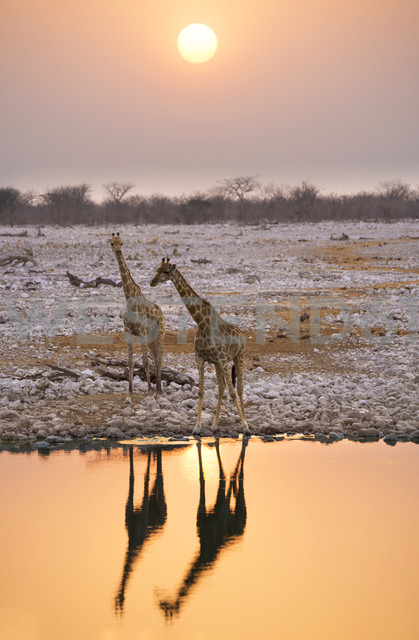 Namibia, Etosha National Park, giraffes at a waterhole at sunset - GEMF000656