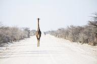 Namibia, Etosha National Park, giraffes walking down the road - GEMF000659