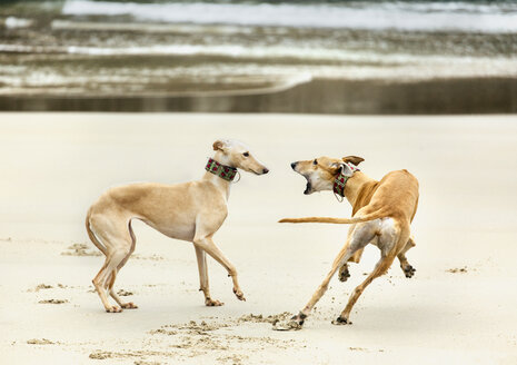 Spain, Llanes, two greyhounds playing on the beach - MGOF001303