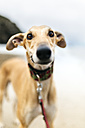 Spain, Llanes, portrait of greyhound on the beach - MGOF001306