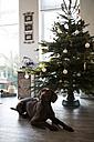 Dog lying at Christmas tree - FKF001673