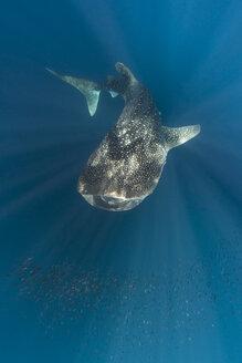 Indonesia, Papua, Cenderawasih Bay, Whale Shark - TOVF000043