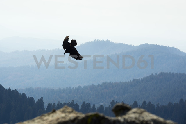 USA, California, Eagle flying over Yosimite National Park - NGF000245 - Nadine Ginzel/Westend61