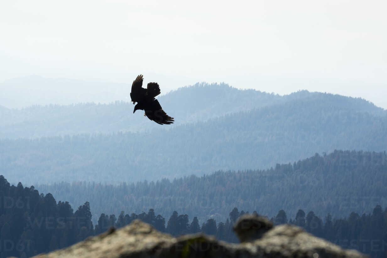 USA, California, Eagle flying over Yosimite National Park - NGF000245 - Nadine Ginzel/Westend61