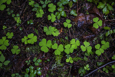 USA, Olympic National Park, Trifolium - NGF000277