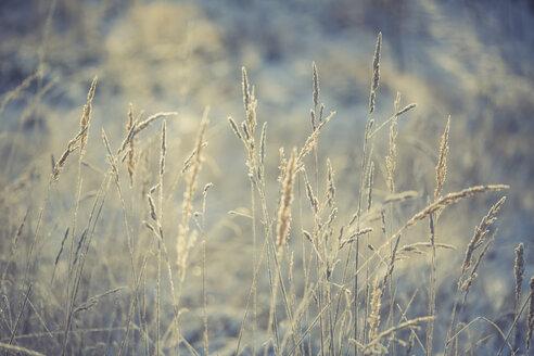 Grasses in winter - ASCF000505