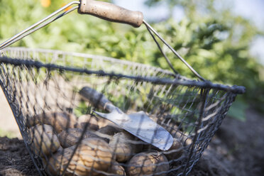 Wire basket with harvested potatoes and hand trowel in a garden - JATF000829