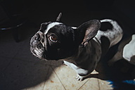 Portrait of French Bulldog looking up - KIJF000153