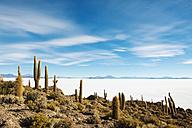 Bolivia, Atacama, Altiplano, Salar de Uyuni, Cacti on Incahuasi island - GEMF000705