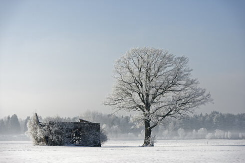 Germany, Bavaria, frost-covered tree besides decayed barn - LBF001365