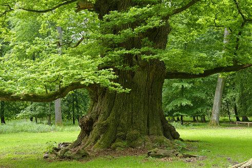 Germany, Ivenack, Ivenacker Eichen, very old pedunculate Oak - LBF001376