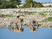 Namibia, Etosha National Park, Herd of burchell's zebras, Equus quagga burchellii, at Okaukuejo lake - AMF004771