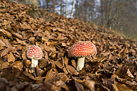 Two fly agarics in autumnal forest - TKF000423