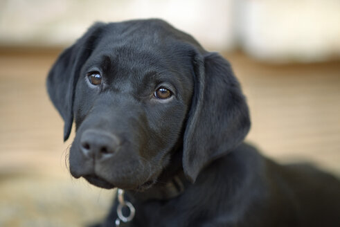 Portrait of black Labrador puppy - MJOF001140