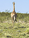 Namibia, Okaukuejo, back view of walking giraffe at Etosha Nationalpark - AMF004777