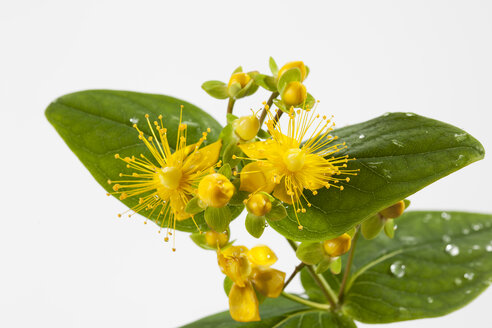 Wet perforate St John's-wort in front of white background, close-up - CSF027127