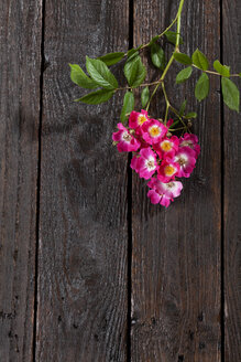 Pink shrub roses on dark wood - CSF027136