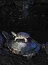 Full-grown and young terrapin - TMF000092