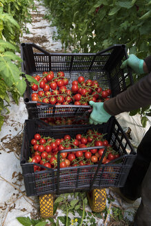 Harvest hand carrying boxes of tomatoes - CST000905