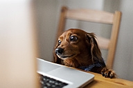 Long-haired dachshund looking at laptop - VABF000151