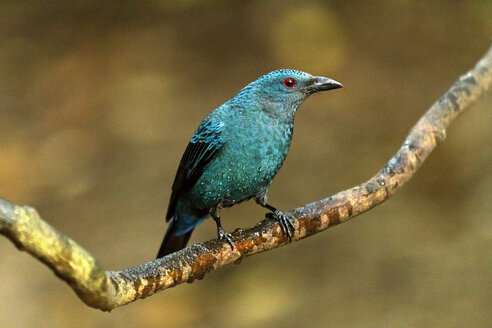 Thailand, Kaeng Krachan, Asian fairy-bluebird on a branch - ZC000362