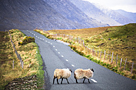 Ireland, Sheep on a country road in Connemara - GIOF000785