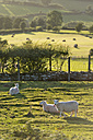 UK, Wales, Brecon and Beacons National Park, Sheep on green pasture - SHF001866