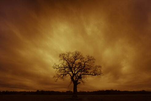 Germany, silhouette of single bare tree at sunset - FCF000855