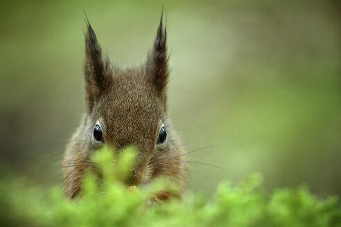 Eurasian red squirrel - MJOF001142