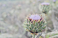 Close-up of an artichoke - MJF001808