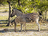 Namibia, Outjo, Ongava Wild Reservat, burchell's zebra mother with foal - AMF004798