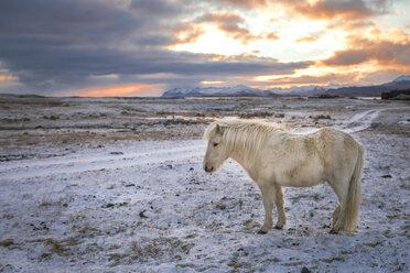 Iceland, Icelandic horse at sunset - EPF000014