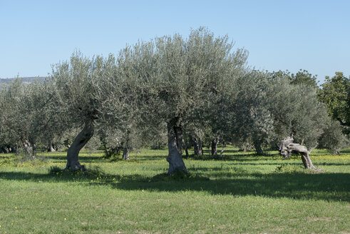 Italy, Sicily, olive trees - CSTF000959