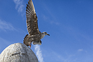 Seagull flying - MAUF000293